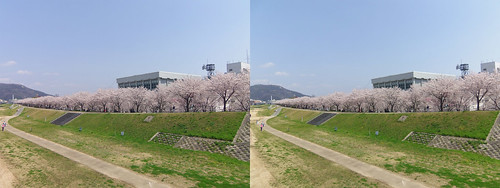 Cherry blossoms along Ibo River, stereo parallel view