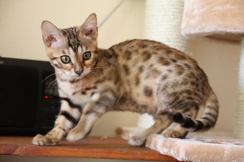 Little Luna Bengal Cat