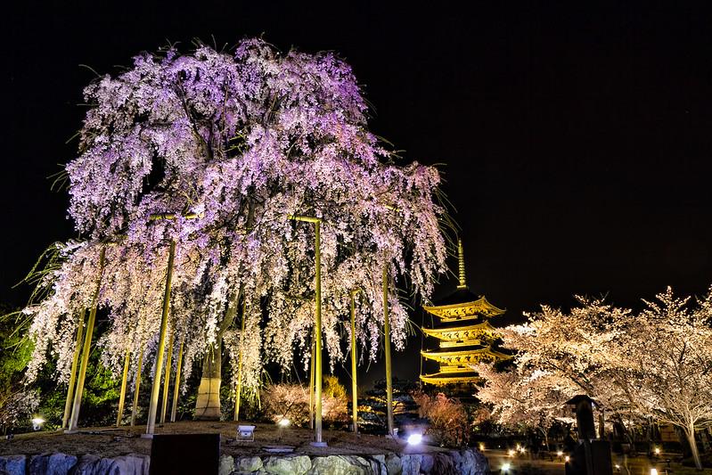 東寺の不二桜