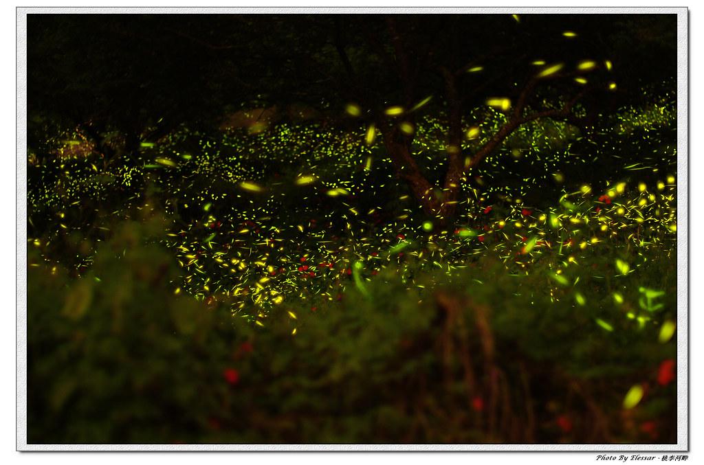 桃李河畔 - 螢蟲飛舞