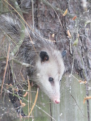 viverridae(0.0), animal(1.0), opossum(1.0), virginia opossum(1.0), possum(1.0), common opossum(1.0), mammal(1.0), fauna(1.0), wildlife(1.0),
