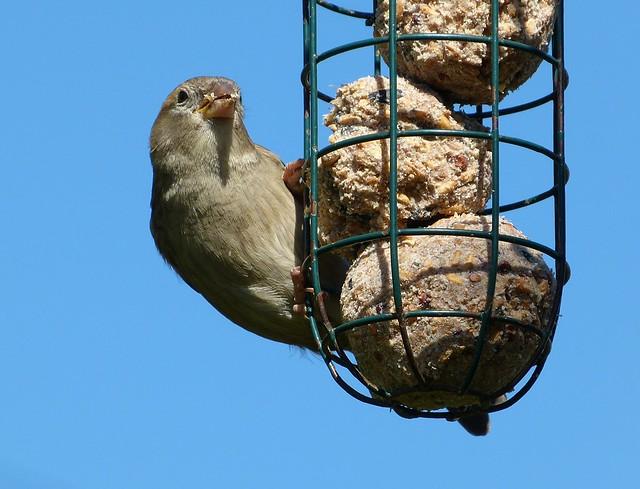 27287 - House Sparrow, Garden