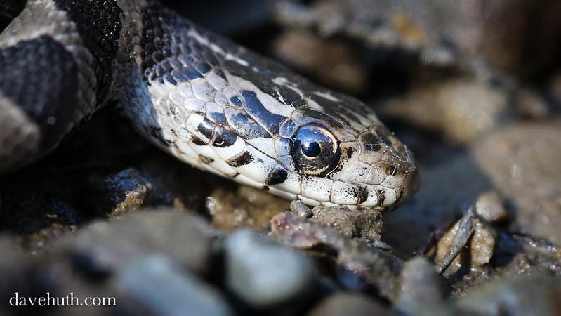 Northern water snake (Nerodia sipedon), juvenile