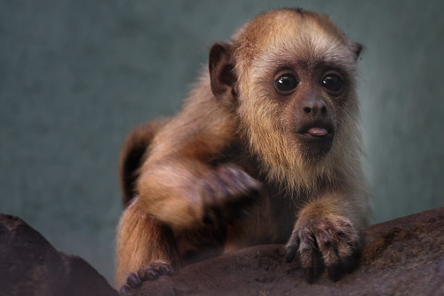 National Zoo Asks Facebook Fans to Name First Baby Howler Monkey