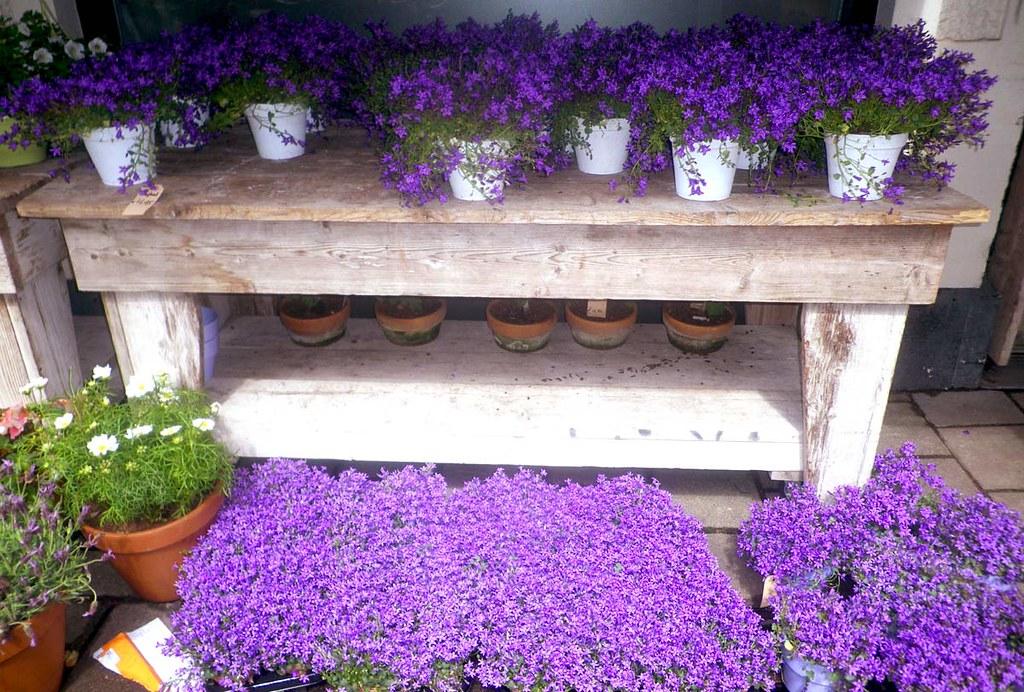 violet-flowers
