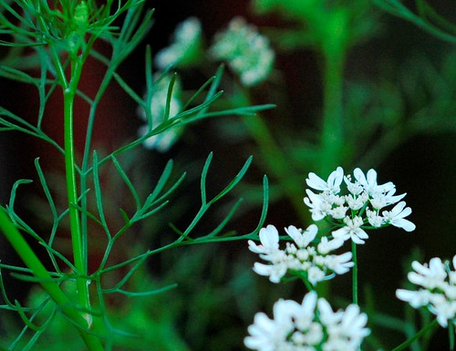 Coriandrum sativum - Coriander Flowers by Gerris2