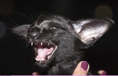 OSH Margosha of Marikacats