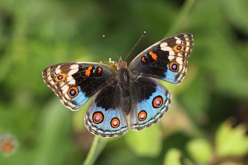 butterfly bug insect tanzania lepidoptera matema animalia arthropoda buckeye lakemalawi eastafrica insecta nymphalidae mbeya tukuyu papilionoidea nymphalinae junonia lakenyasa bluepansy kyela malawisee junoniaorithya junoniaorythia blueargus junoniini eyedpansy