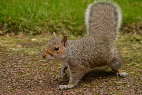 469 - Edinburgh - botanic gardens - Squirrel