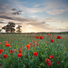 Poppies at Sunset 4 by Pixelda