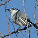 White-lored_Gnatcatcher_Tehuantepec_Oaxaca_Mexico_2004_12_22_061.jpg por maholyoak