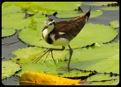 winter-feathered Jacana by BorisWorkshop (13.000+ views, thanks)