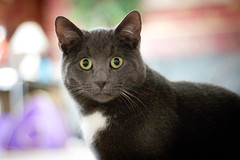 nose, animal, small to medium-sized cats, pet, fauna, chartreux, bombay, close-up, cat, korat, burmese, carnivoran, whiskers, nebelung, russian blue, domestic short-haired cat,