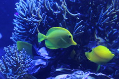 anemone fish(0.0), deep sea fish(0.0), sea anemone(0.0), coral reef(1.0), coral(1.0), fish(1.0), coral reef fish(1.0), organism(1.0), marine biology(1.0), aquarium lighting(1.0), underwater(1.0), reef(1.0),