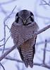 Northern Hawk Owl...#4