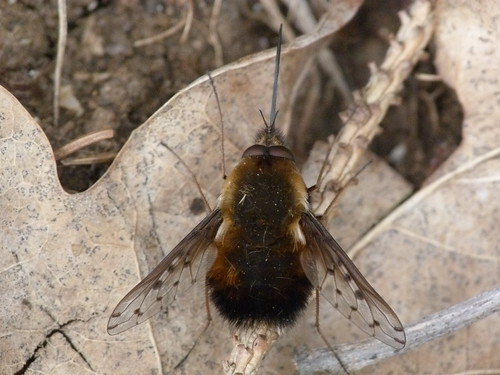 Dotted Bee-fly (Bombylius discolor) by Peter Orchard