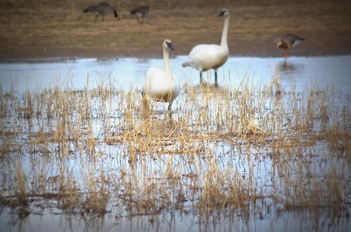 reflection nature water field birds alaska landscape geese nikon swans migration creamersfield rebeak