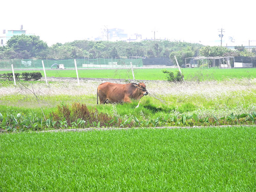 Cow in the Paddy