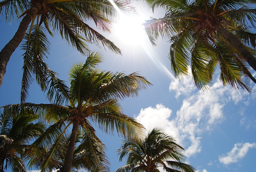 Palm Trees And Sunshine Mexican Fan Palms