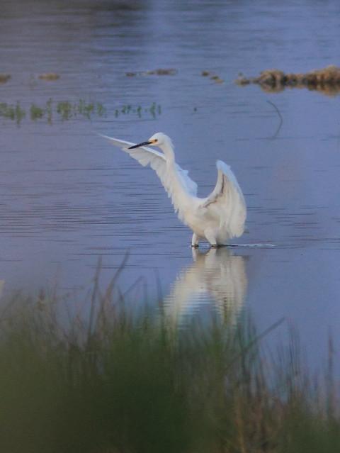 Snowy Egret 20120411