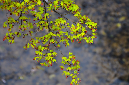 Maple leaves at Nara park by hyossie