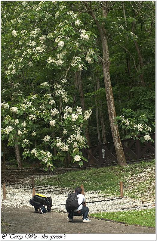 2012-04-19 挑水古道桐花-8