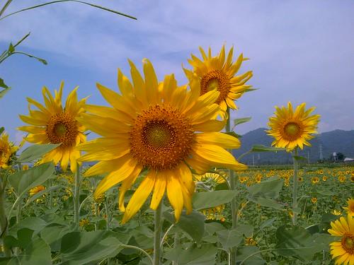 Sunshiny flowers :D