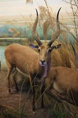 deer(0.0), white-tailed deer(0.0), kudu(0.0), elk(0.0), animal(1.0), prairie(1.0), antelope(1.0), mammal(1.0), horn(1.0), waterbuck(1.0), fauna(1.0), wildlife(1.0),