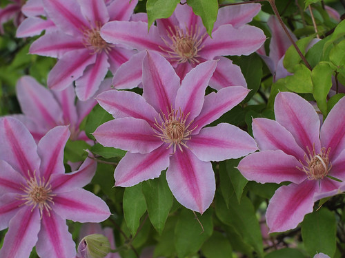 my favorite clematis