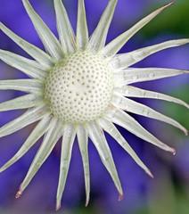 Dandelion all seeds gone