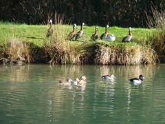 Il ne passe pas inaperçu le clan des demdrocygnes veufs à la villa du guip en Bretagne sud dans le Finistère decouvrez Concarneau, Pont Aven, Douarnenez