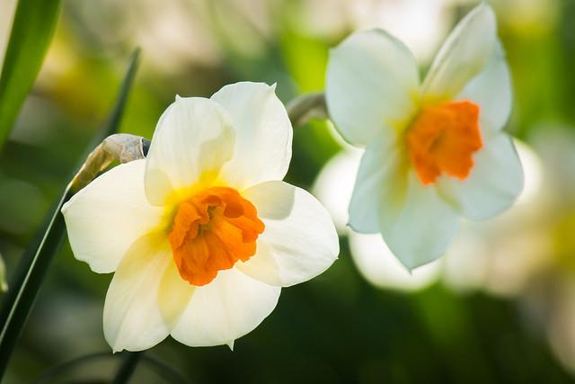 Daffodil, Daffodils, Spring