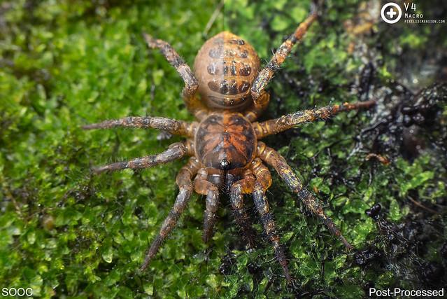 Liphistius cf. murphyorum trapdoor spider