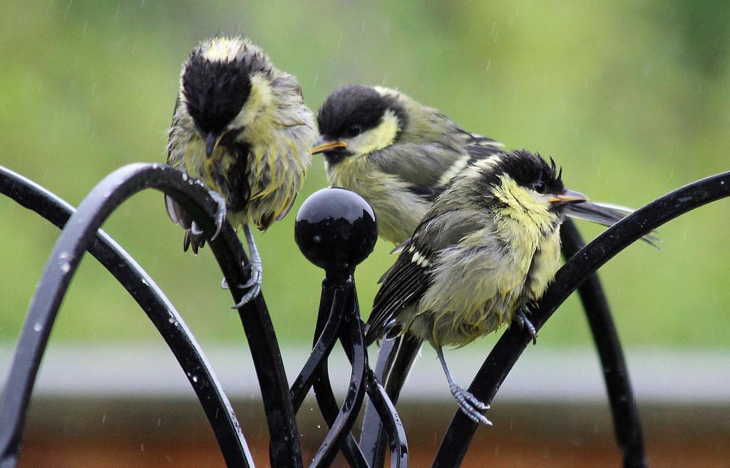 Great Tit fledglings
