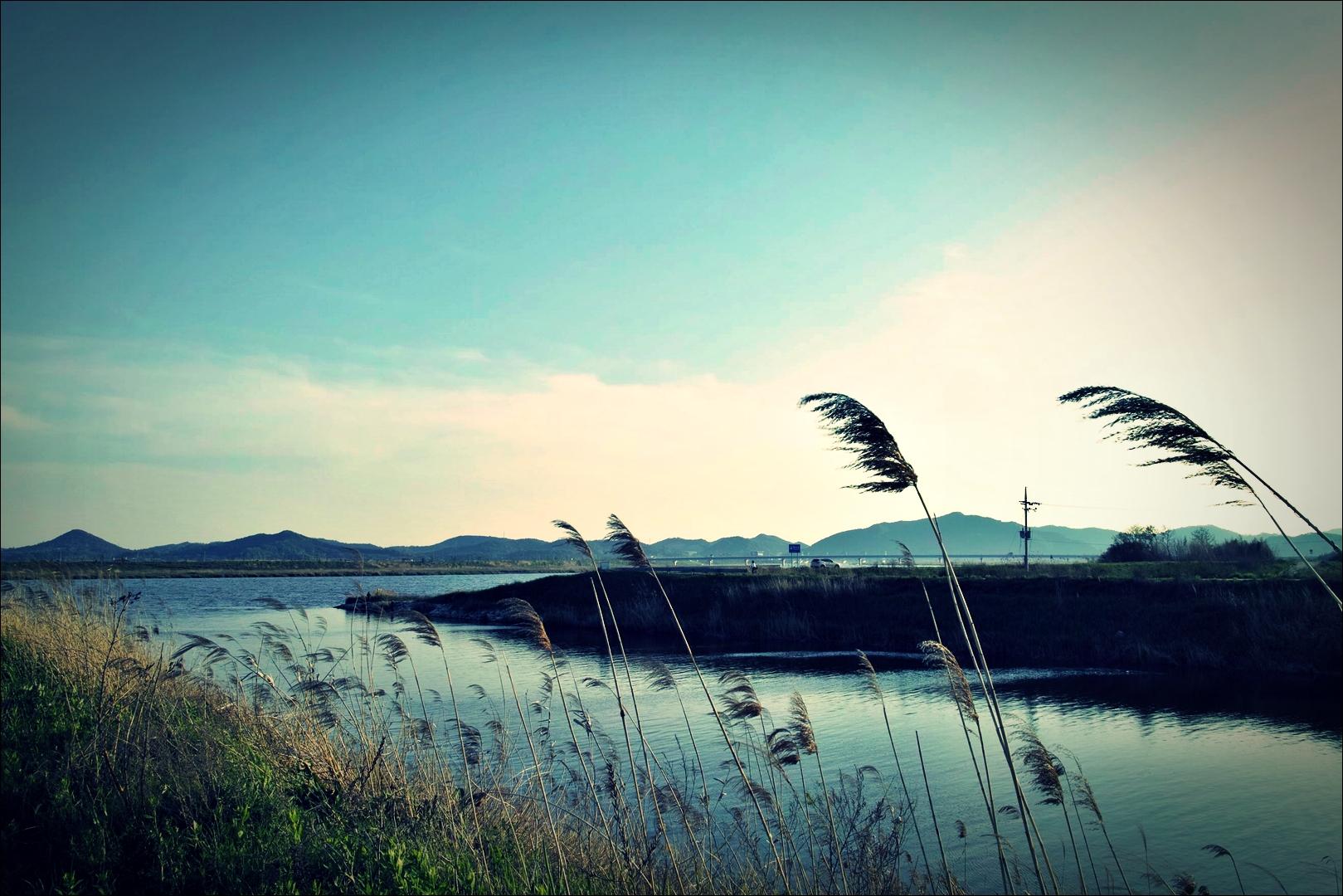 갈대-'영산강 자전거 종주 Yeongsan_River_Bike_Riding'