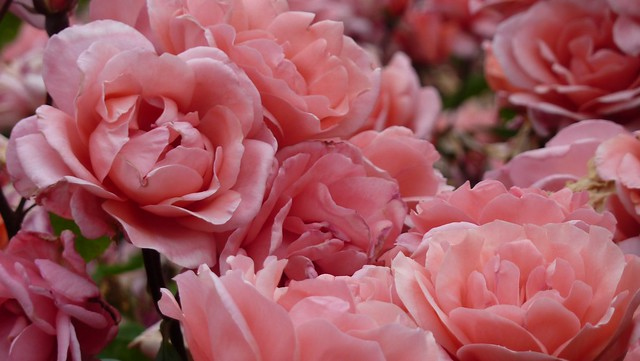queen mary 39 s rose garden flickr photo sharing. Black Bedroom Furniture Sets. Home Design Ideas