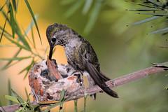 Anna's Hummingbird family.
