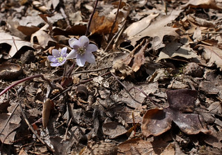Sharp-lobedHepatica