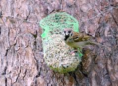 Fugleliv rundt meisbollen og fuglemateren.