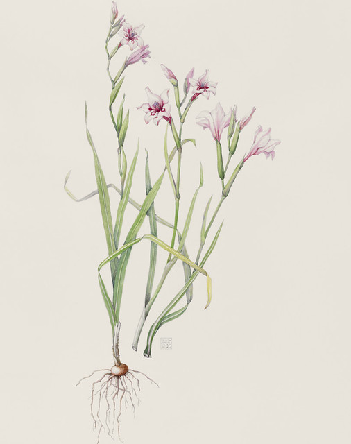 "Eleanor Lea Rohrbaugh, Gladiolus carneus 'Painted Lady', 2010.  Helen Mattin Warm Temperate Pavilion. Watercolor on Arches 140lb. hot press. 22"" x 18""."