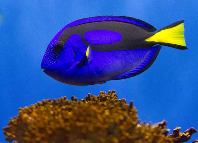 Regal blue tang flickr photo sharing for Blue tang fish facts