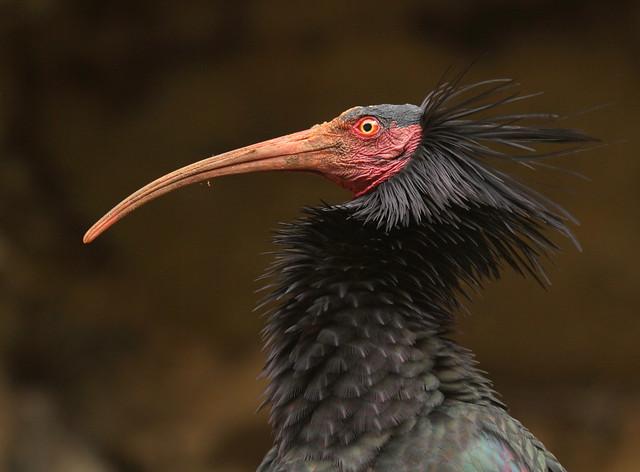 Ibis eremita - Íbis-calva - bis chauve - Waldrapp - Geronticus eremita