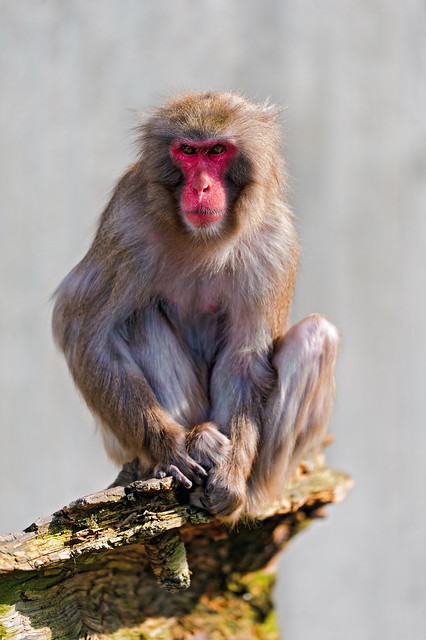 Japanese macaque on the rock