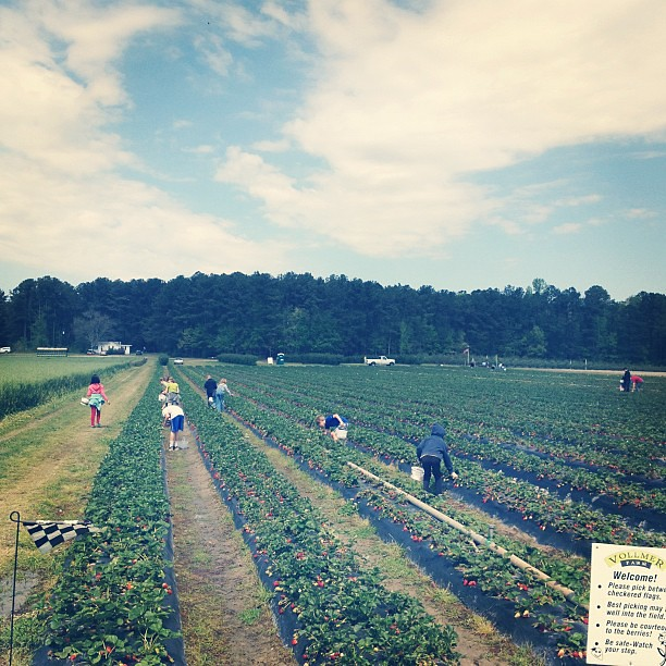Strawberry Picking today. #<span class=