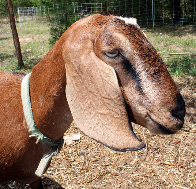 A profile portrait of Miss May, a golden brown goat with long, drooping ears and stripes running from the corners of her eyes to her nose.