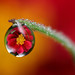 Dahlia dewdrop refraction #4