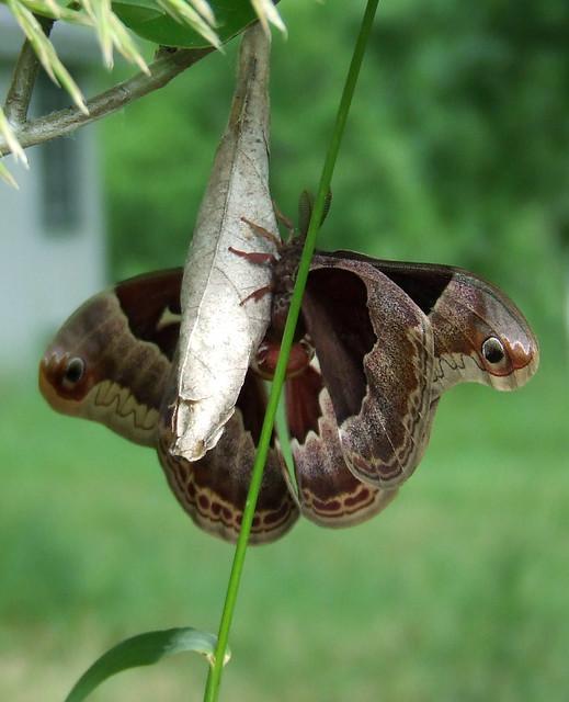 mating promethea moths 6