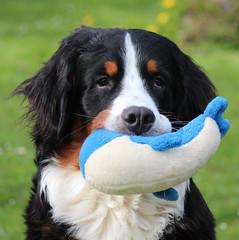 dog breed, animal, dog, pet, drentse patrijshond, greater swiss mountain dog, entlebucher mountain dog, bernese mountain dog, carnivoran,