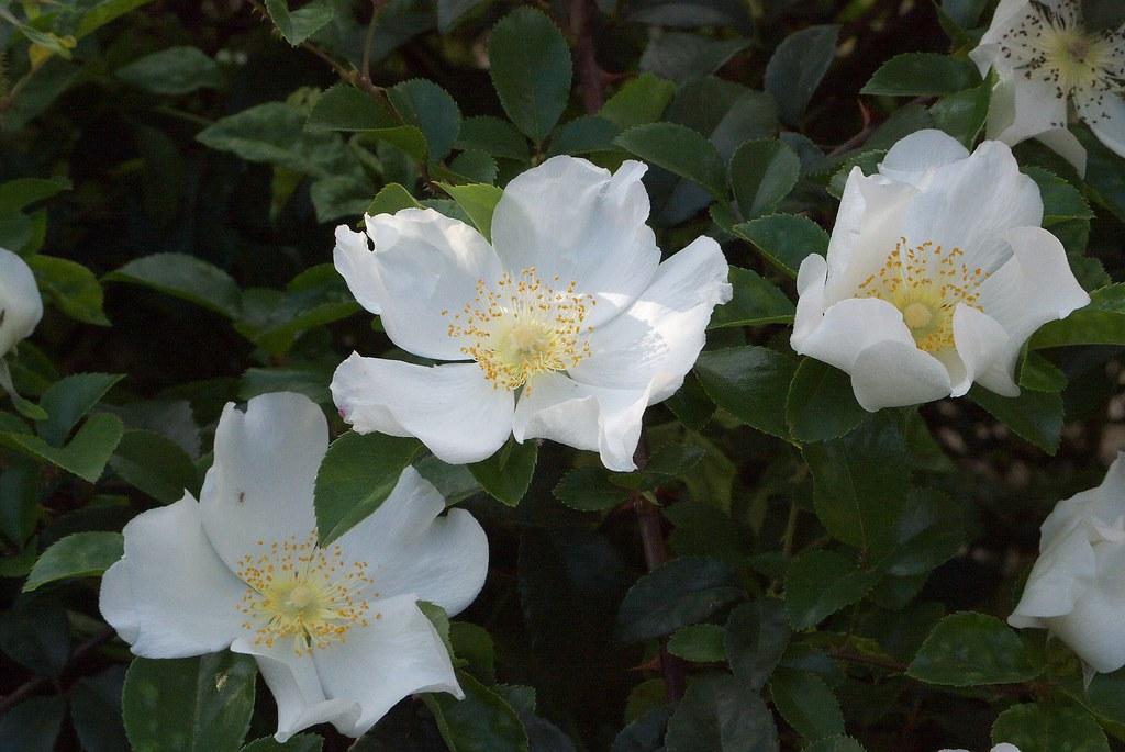 Cherokee rose invasive exotic plants of north carolina for Cherokee rose