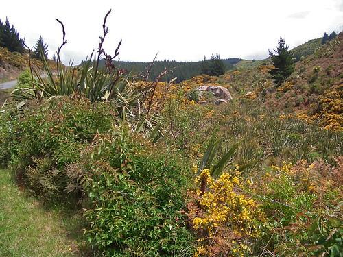 Sparteum junceum (Fabaceae)